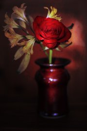 czerwona róża w wazonie